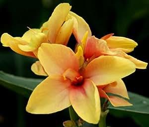 CANNA YELLOW Canna x Generalis - 50 Bulk Seeds