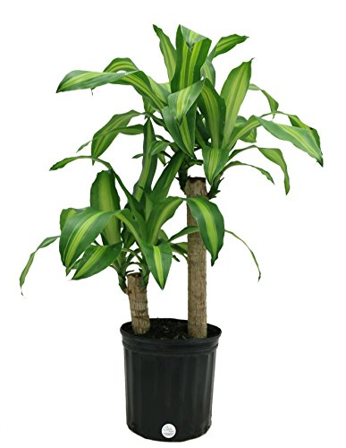 Costa Farms Mass Cane Corn Plant Live Indoor Floor Plant in 8.75-Inch Grower Pot