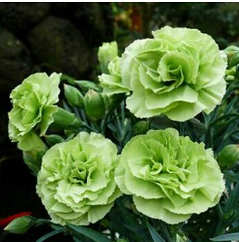 Free Shipping 50pcs Carnation Seed Bonsai Dianthus caryophyllus.Flowers Seeds colofrul.Garden Home Plant Semillas potted