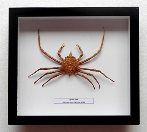 (05076 Real Frame Deep water Spider Crab Taxidermy - Doclea armata)
