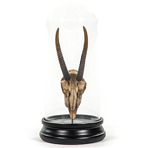 Kathy Kuo Home Yuma Rustic Lodge Reproduction Gazelle Antler Trophy in Glass Cloche