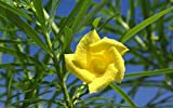 5 Yellow Oleander Tree Seed ,Thevetia Peruviana, Lucky Nut - Tropical Plant