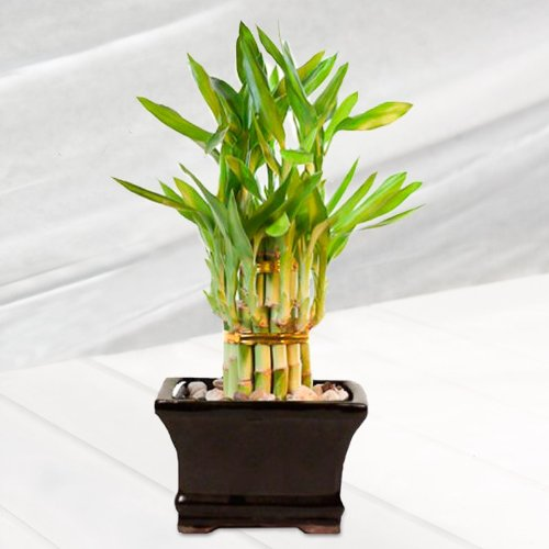 Double Tier Lucky Bamboo Tower Plant Arrangement