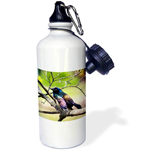 3dRose Stamp City - Birds - Photograph of a Colorful Common Grackle Sitting Among The Branches. - 21 oz Sports Water Bottle (wb_291284_1)