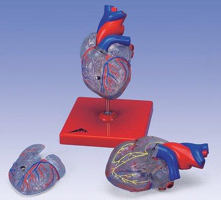 3B社 心臓模型 心臓透明型2分解モデル刺激伝導系付 (g08-3)   B003Z2OKOW