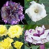 Datura mixed - Engelstrompete - Stechapfel mixed - 15 Samen