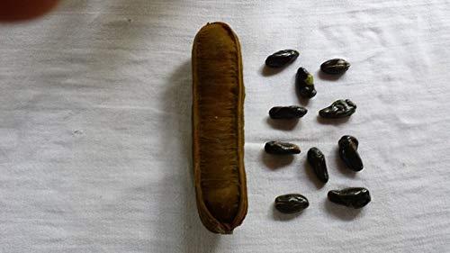 - Lot of 10 Ice Cream Bean Inga Edula Seeds Tropical Tree from Hawaii