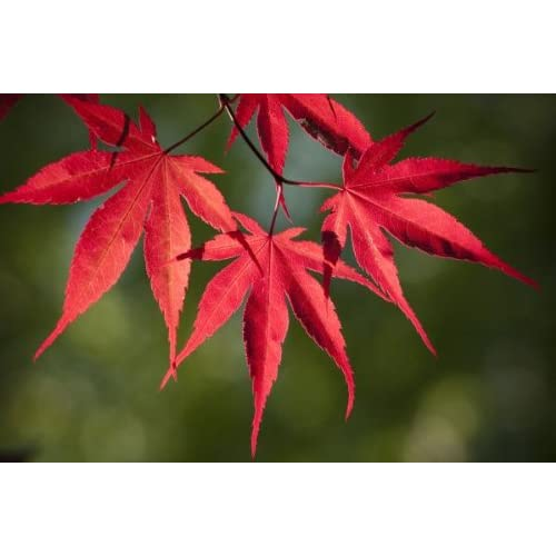 Blood Leaf Japanese Maple Acer Palmatum Atropurpureum15 Seeds