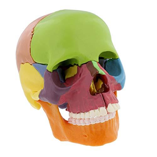 - MonMed | Didactic Human Skull Model - Half Life Sized Skeleton Skull 15 Piece Anatomical Skull Model Skull Puzzle, Colored