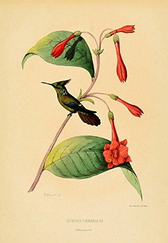 Oiseau Mouches 1874 Aurinia Verreauxi Poster Print By L Bevalet  18 X 24