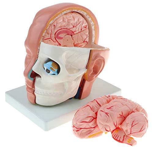 kesoto 1: 1 Modelo De Anatomía De Estructura De Cerebro Humano, Cerebelo Globo Ocular Removíble, Colección Suministro De...
