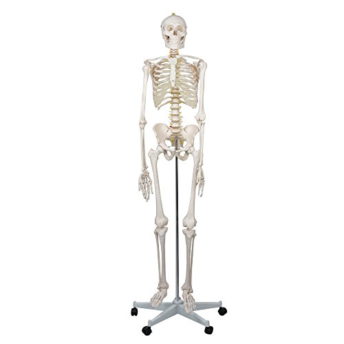 "Super Deal 6FT Life Size, 70.8"" Height Medical Anatomical..."