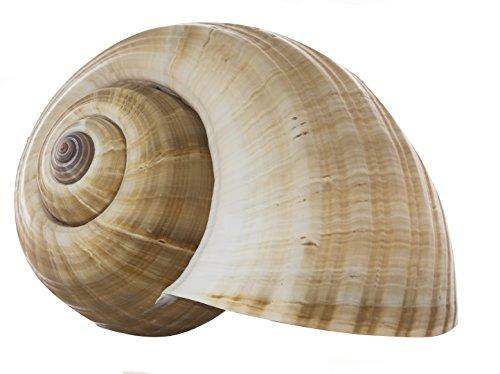 Tonna Cepa Shell | 1 Tonna Cepa Shell | 8-9