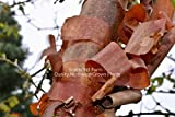 Details About 1 Acer griseum - Paperbark Maple- Cinnamon Reddish/Brown Peeling - Potted Tree