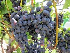 Weinrebe 'Muscat bleu' - Vitis 'Muscat bleu' - Leckere Traube für den Garten von Native Plants