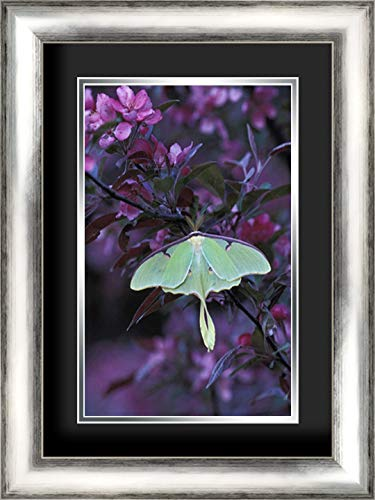 USA, Pennsylvania Luna Moth on crabapple Tree 17x24 Silver Contemporary Wood Framed and Double Matted (Black Over Silver) Art Print by Rotenberg, Nancy (Crab Apple Luna)
