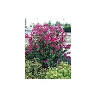 (1 Gallon) Tonto Crape Myrtle, Fuschia, Red Dwarf, Seasonal Attraction, Drought and Mildew Resistant. : Garden & Outdoor