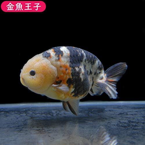 キャリコ 金魚