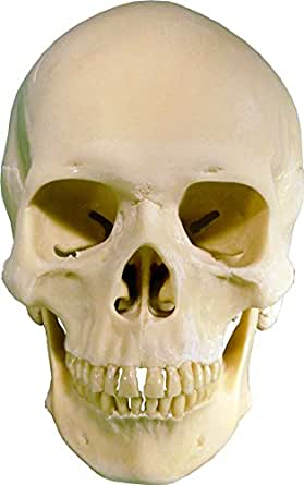 Human skull replica life size with articulating Mandible jaw: Amazon ...