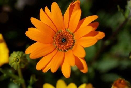African Daisy Orange Glory Flower Annual 40 Seeds #SB01