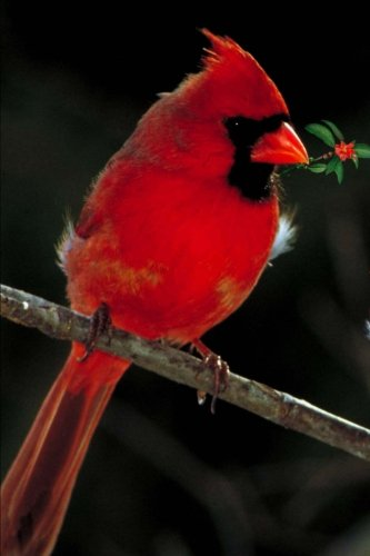 Download A Scarlet Red Cardinal Holiday Journal: 150 Page Lined Notebook/Diary pdf epub