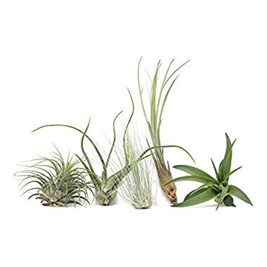 Hinterland Trading Air Plant Assortment 5 Pack Airplants Tillandsia