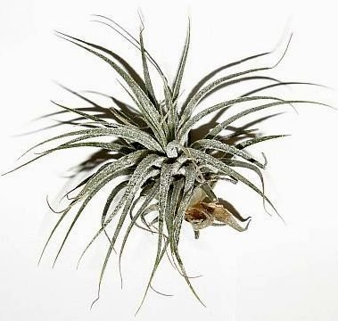 1 Tillandsia kammii, Tillandsien für Terrarien, Aufsitzerpflanzen 2017