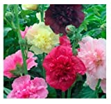 David's Garden Seeds Flower Hollyhock Majorette Double Mix SL9541SV (Multi) 200 Non-GMO, Open Pollinated Seeds