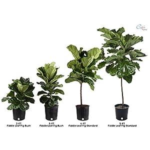 Costa Farms Live Indoor Ficus Lyrata 6