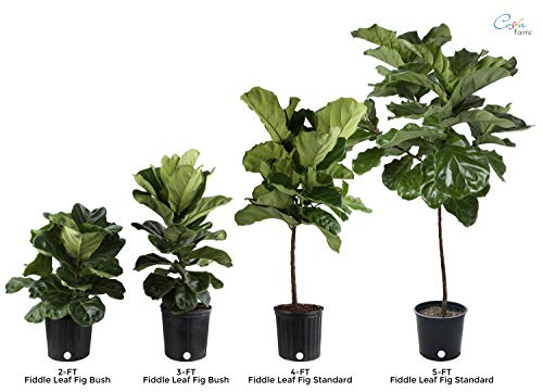 Costa Farms Live Ficus Lyrata, Fiddle-Leaf Fig, Floor Plant, 4-Feet Tall, Ships in Seagrass Basket, White-Natural, Fresh From Our Farm by Costa Farms (Image #1)