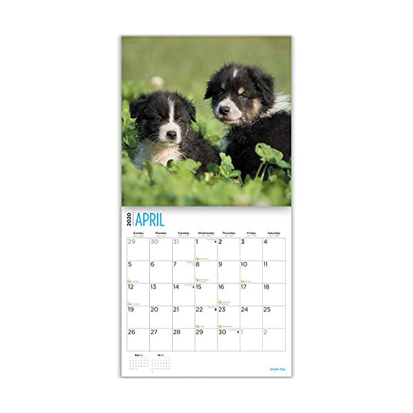2020 Australian Shepherds Wall Calendar by Bright Day, 16 Month 12 x 12 Inch, Cute Dogs Puppy Animals Aussies Canine 7