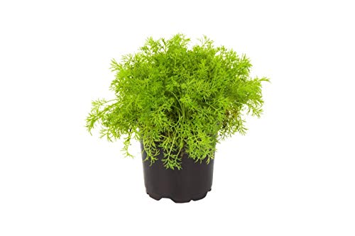 The Three Company Stress Relieving Live Aromatic 4'' Herb Combo (Lemon Balm, Rosemary, Chamomile) 1 Pint Pot Aids in Relaxation (Thrее Рack) by The Three Company (Image #3)