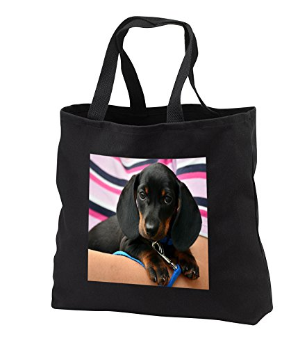 Dog Dachshund - Image of Dachshund Puppy Portrait - for sale  Delivered anywhere in USA