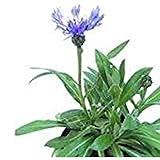 """MOUNTAIN BLUET ~Bachelor's Buttons""""~ """"Centaurea Montana"""" *NEW* 25- Perennial Seeds"""