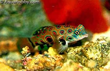 amazon com mandarin goby fish spotted synchiropus picturatus