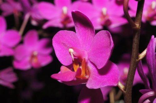 1 blühfähige Orchidee der Sorte: Dtps Aposya, 13-14cm Topf