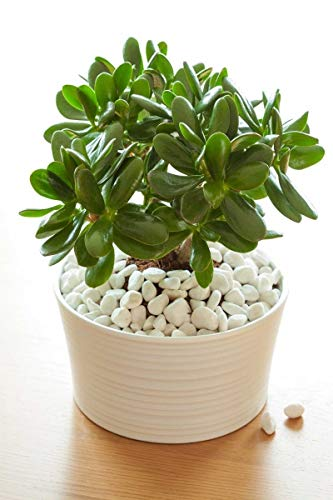 Jade Plant, Succulent, 8'' Pot (Excludes CA, AZ) by Root 98 Warehouse (Image #1)