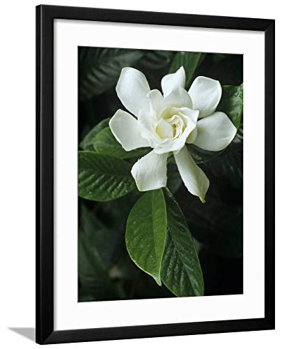 ArtEdge Cape Jasmine Flower (Gardenia Jasminoides) by David Sieren, Black Matted Wall Art Framed Print, 24 x 18, Soft White (Gardenia Jasmine Cape)