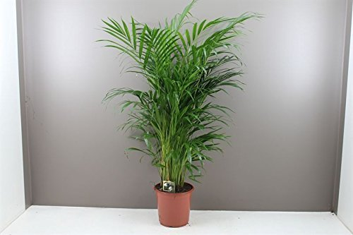 Beautiful Butterfly Indoor Palm Tree Areca Lutescens - Next Day ...