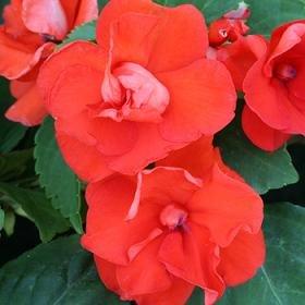 Hazzard's Seeds Impatiens Double Athena Orange 100 seeds