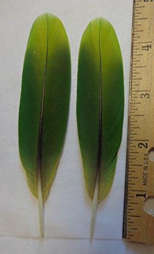Matched Pair Amazon Parrot Tail Feathers, 2 Tone Green, 4 to 6 inches (4 to 5 (Natural Parrot Green)