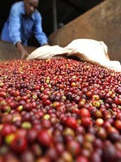 5LBS Kenya Kieni Unroasted Green Coffee Beans