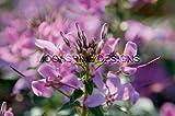Pequena Rosalita Cleome Spider Flower ProvenWinners Flat of 8 Quart POTS