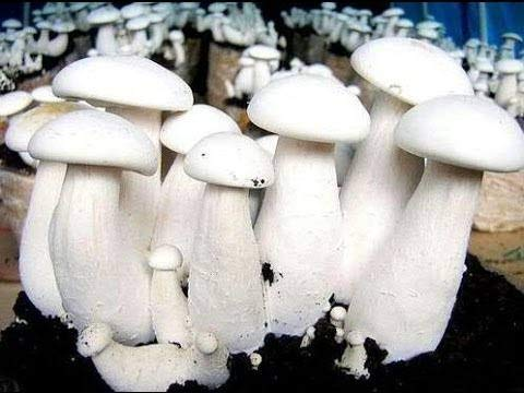 Grenfel White Milky Mushroom Spawn/Seeds Co2 Best Variety 400gm Set Of 1 With Polly bag