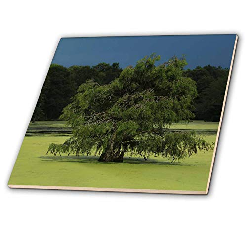 - 3dRose Stamp City - Nature - Photo of Cypress Tree Growing in The Marsh at Magnolia Plantation. - 6 Inch Ceramic Tile (ct_295294_2)