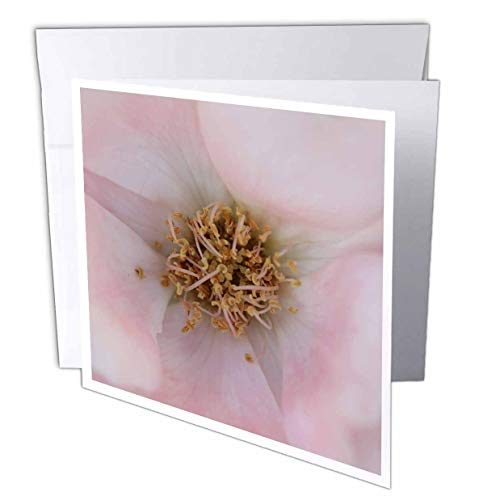 (3dRose Stamp City - Flowers - Macro Photo of The Curly Stamens Among Pastel Pink Petals of a Rose. - 12 Greeting Cards with envelopes (gc_315577_2))