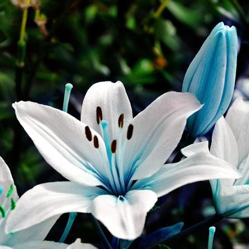 Lily Potted Peace (Lily Seeds Lily Flower Seeds 50Pcs Blue Heart Lily Seeds Potted Plant Bonsai Lily Flower Seeds For Home Garden by Lily Plant Seeds Peace Lily Seeds BiStore)