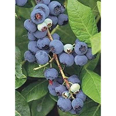Climax Blueberry Bush - Edible Berry - Hardy Perennial - Gallon Pot - 1 Plant from Grandiosy Farm : Garden & Outdoor
