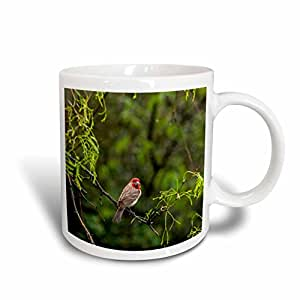 Danita Delimont - Chuck Haney - Birds - Male house finch at Pedernales Falls SP near Johnson City, Texas, USA - 15oz Mug (mug_189984_2)