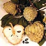 Sugar Apple Tree 8 Seeds - Annona squamosa - Bonsai